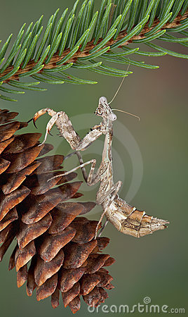 Mantis on Pine Cone