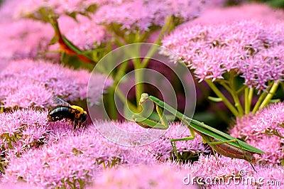 Mantis Predator