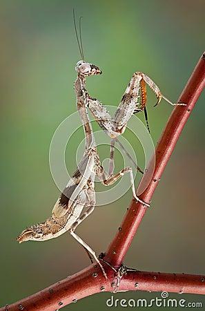 Mantis on red branch