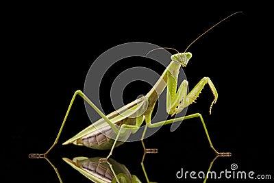 Mantis Religiosa Gigante