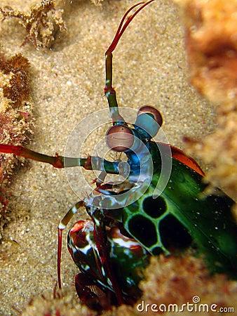 Free Mantis Shrimp Stock Photos - 3161783