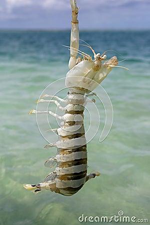 Free Mantis Shrimp Royalty Free Stock Photo - 58233495