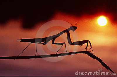 Mantis in the sunset