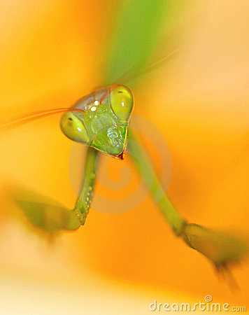 Free Mantis Takes A Bow Stock Images - 188764