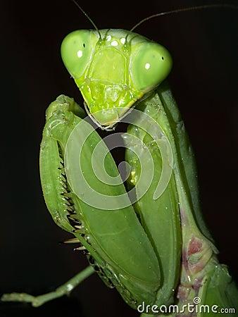 Free Mantis Top Stock Image - 13907531