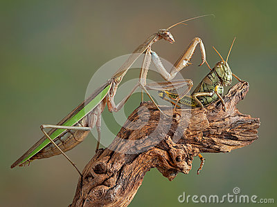 Mantis touching Hopper
