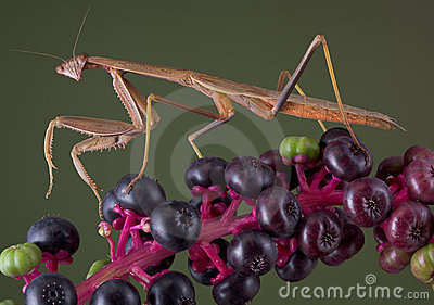 Mantis walking on pokeweed
