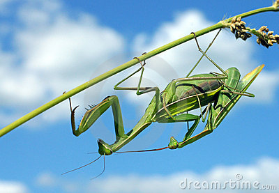 Mantises couple naturally
