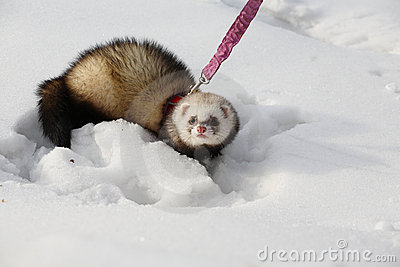 Manual polecat