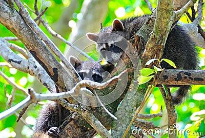Manuel Antonio Raccoons, Costa Rica