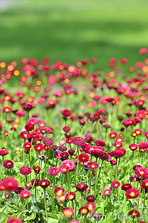 Many alive red flowers