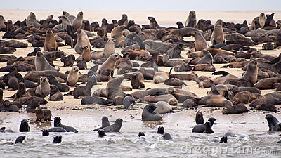 Many brown seals in wet sand