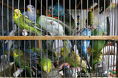 Many budgerigars in cage