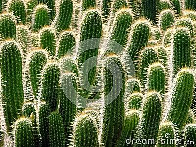 Many cacti