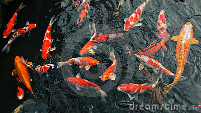 Many carp fishes