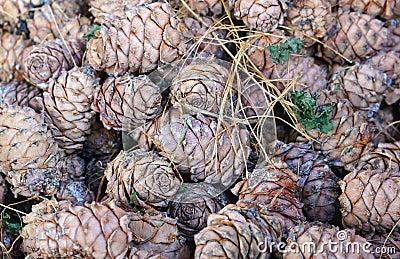 Many cedar cones