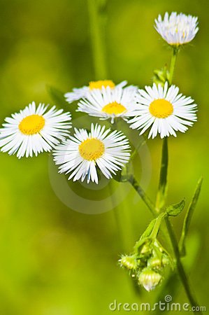 Many chamomile flowers on wide field
