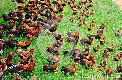 Many chickens