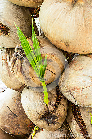 Many coconuts
