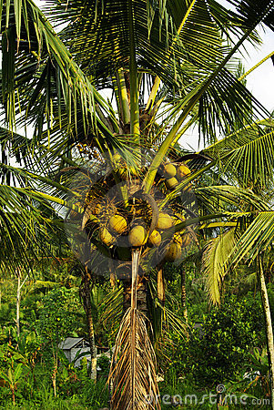 Many coconuts on a palm