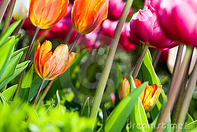 Many coloured tulips v3
