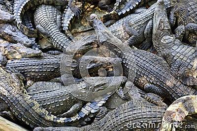 Many Crocodiles