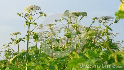Many dangerous poisonous plants Giant Hogweed Heracleum, Cow Parsnip stock video footage