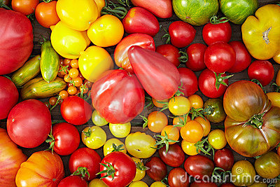 Many different tomato breeds