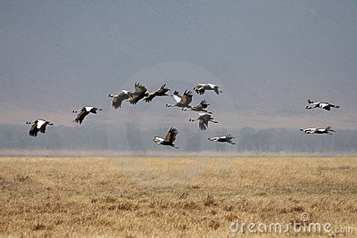 Many flying birds in Africa savanna
