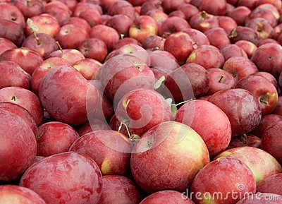 Many freshly picked red apples