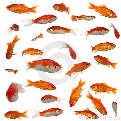 Free Many Goldfish Royalty Free Stock Image - 1453506