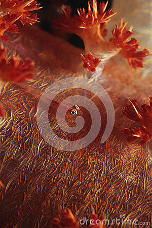 Free Many-host Goby Fish On Soft Coral Stock Photos - 30848623