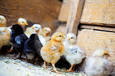 Many little colorful chickens