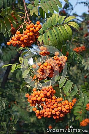 Many rowan-berries fruits hungs on green branch