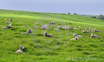 Many sheep in a meadow