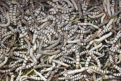Many silkworms texture eating mulberry leaves