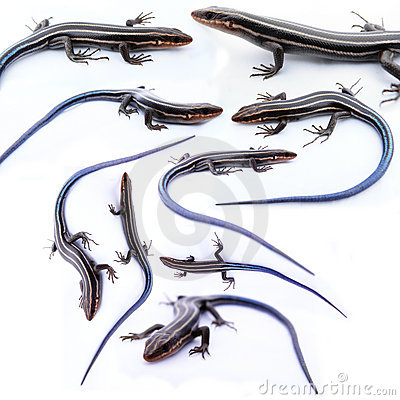 Free Many Skinks Isolated Stock Photos - 4538173