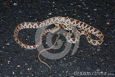 Many-spotted Cat Snake