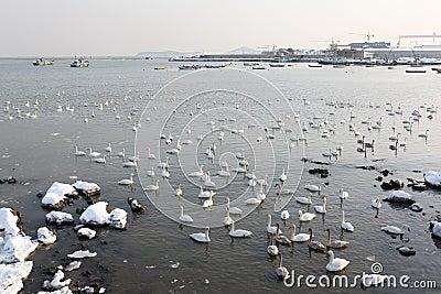 Many swans2