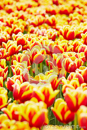Free Many Tulips Growing In A Field Stock Image - 31271631