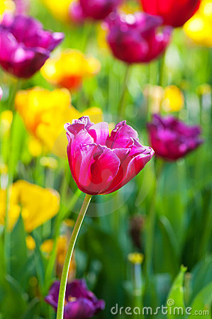 Free Many Tulips In The Park Royalty Free Stock Images - 20226209