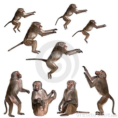 Free Many Views Of Baboon Royalty Free Stock Photography - 10350637