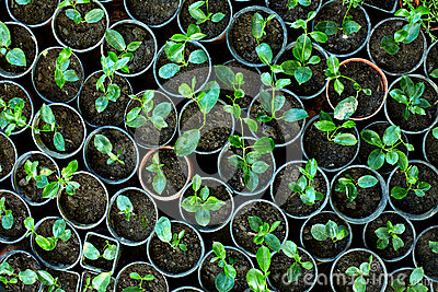 Many young potted sprouts in greenery