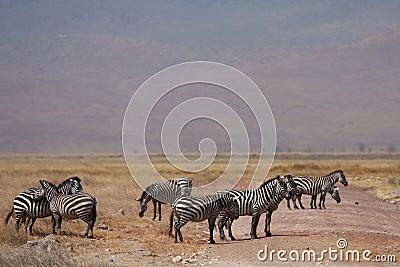 Many zebras in Africa safari