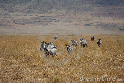 Many zebras walking in Africa safari