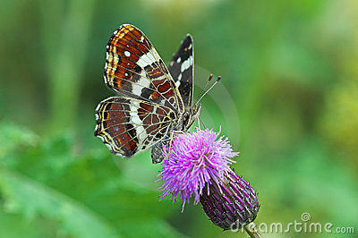 Map Butterfly, Summer brood