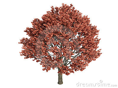 Maple_(Acer_griseum)