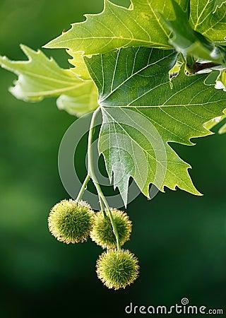 Maple acorns