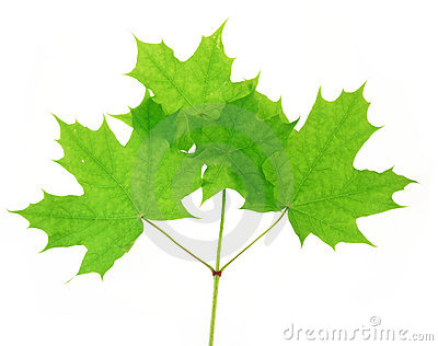 Maple barb with foliage
