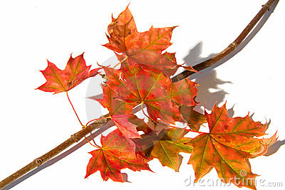 Maple branch with leafs